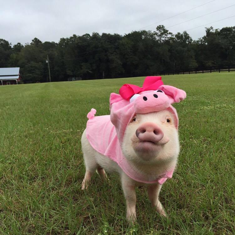 Прикольные картинки свинью