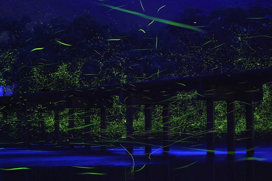 9. Бесчисленные стаи светлячков над рекой Шиманто, Япония. без фотошопа, удивительные фотографии