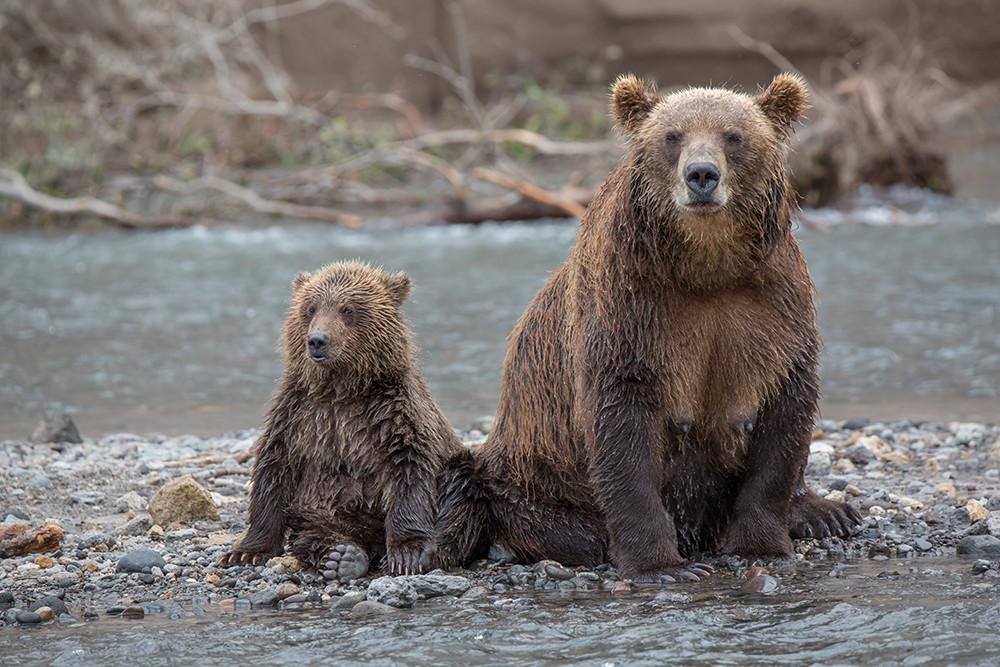Картинки камчатский медведь
