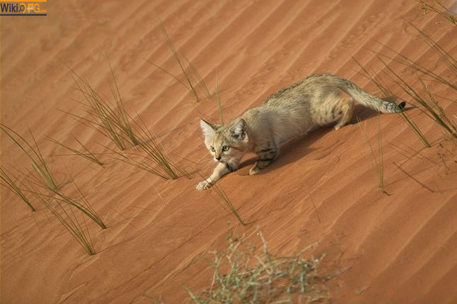 Sahara cat