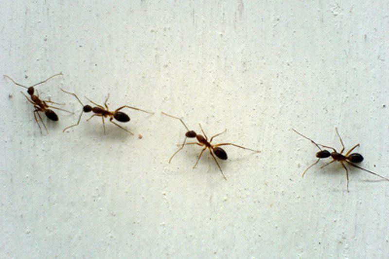 15. Средство от муравьев мел, советы, хитрости