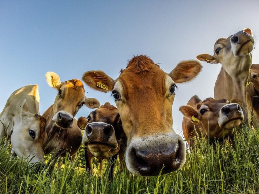 ржачные картинки коров узнать