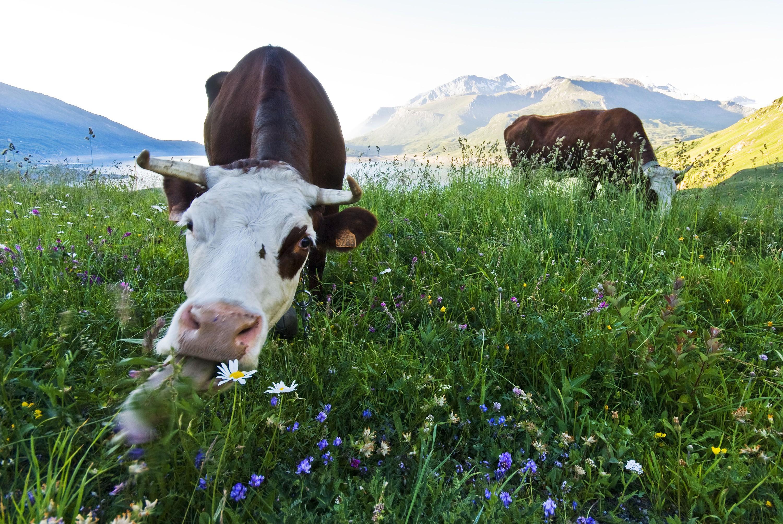 судя спутниковым картинка корова жует траву способ переноски шинели