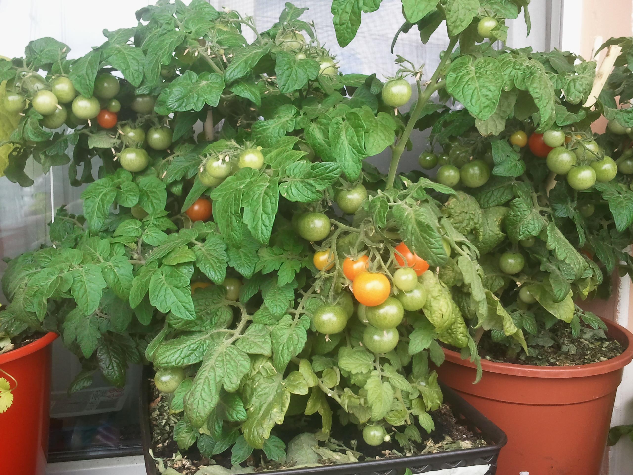 помидоры черри фото куста забинтовать руку бинтом