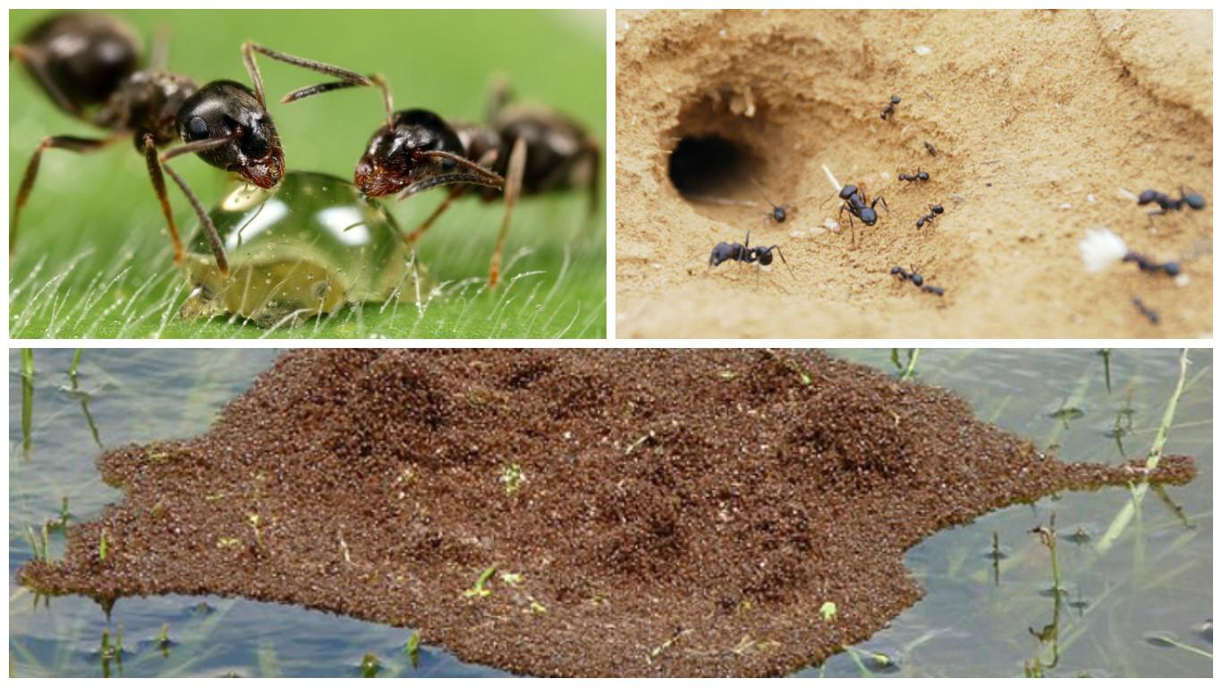 слов адель, показать картинки бытовые муравьи пара