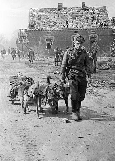Собаки везут раненого, 1944 год интересно, история, фото