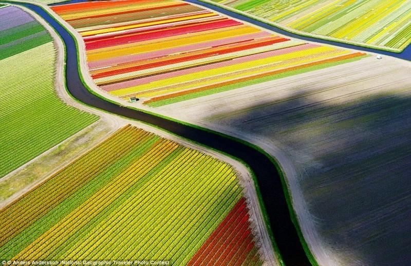 На тюльпановых полях Голландии самые яркие цвета будто разбегаются в разные стороны беспилотники, достопримечательности, дроны, фото