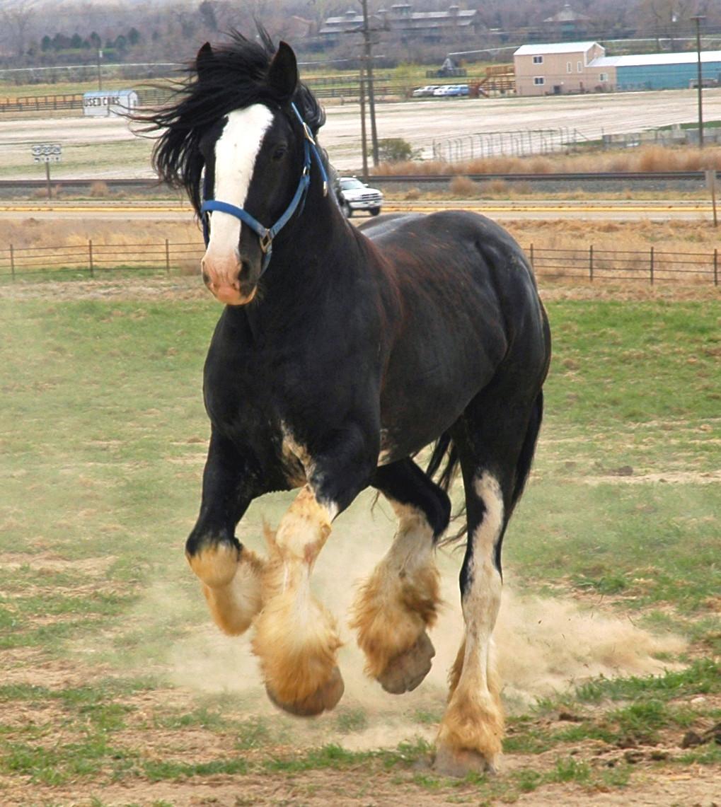 world's largest horse - 870×974
