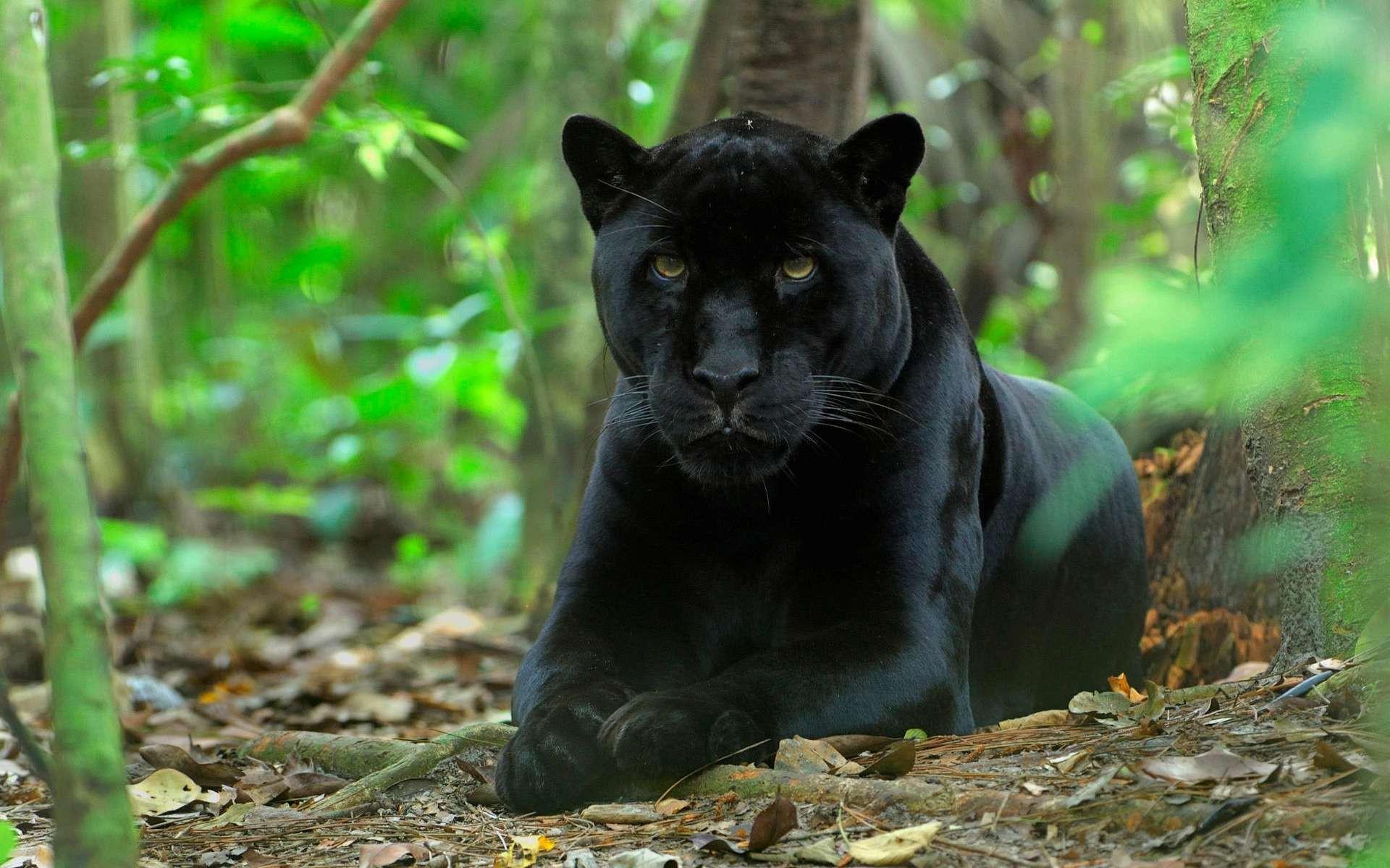 Открытка мальчику, картинки пантера черная животное