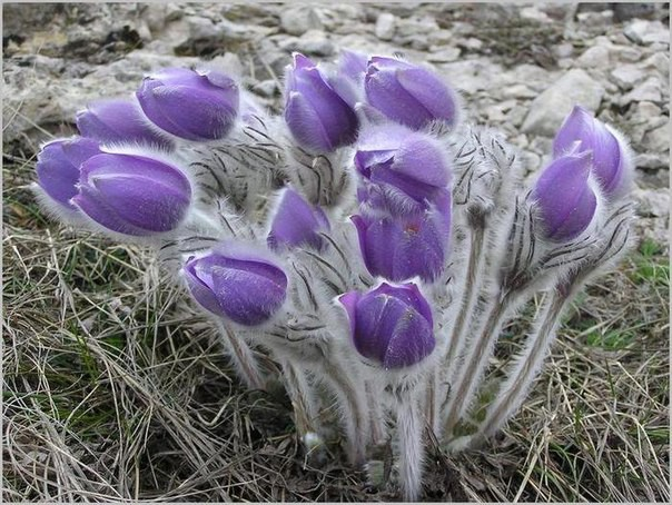 Поэтому, если вам захочется купить букетик этих красивых цветов, вспомните, что, покупая их, вы подталкиваете браконьеров к еще более масштабному сбору в последующие годы. весна, подснежники., цветы