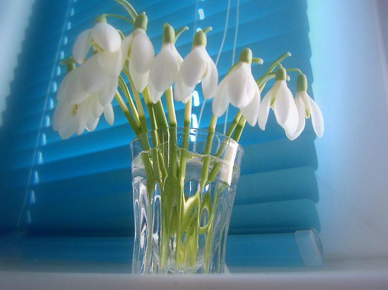 Экологи ратуют за ужесточение мер по отношению к «собирателям» подснежников, призывают всех относиться к этим цветам осторожно и бережно и даже в преддверии весенних праздников не дарить их женщинам. весна, подснежники., цветы