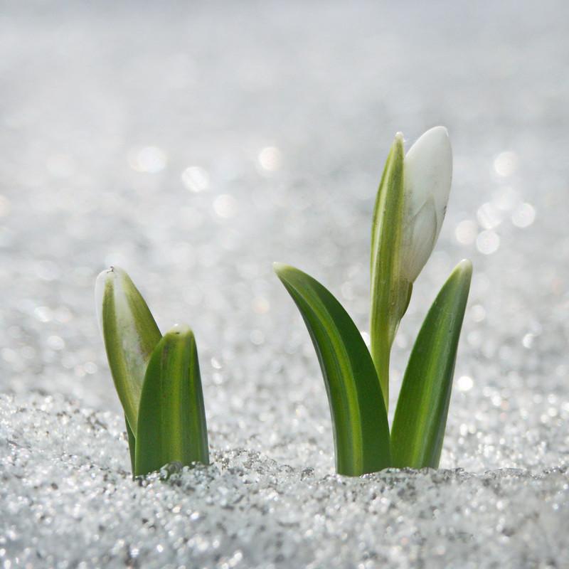 Подснежник пользовался популярностью с давних времен. Еще Гомер, описывая приключения Одиссея, упоминал траву Моли. Эту траву бог Гермес дает Одиссею для того, чтобы противостоять чарам ведьмы Цирцеи. Трава Моли – это один из видов подснежника. весна, подснежники., цветы
