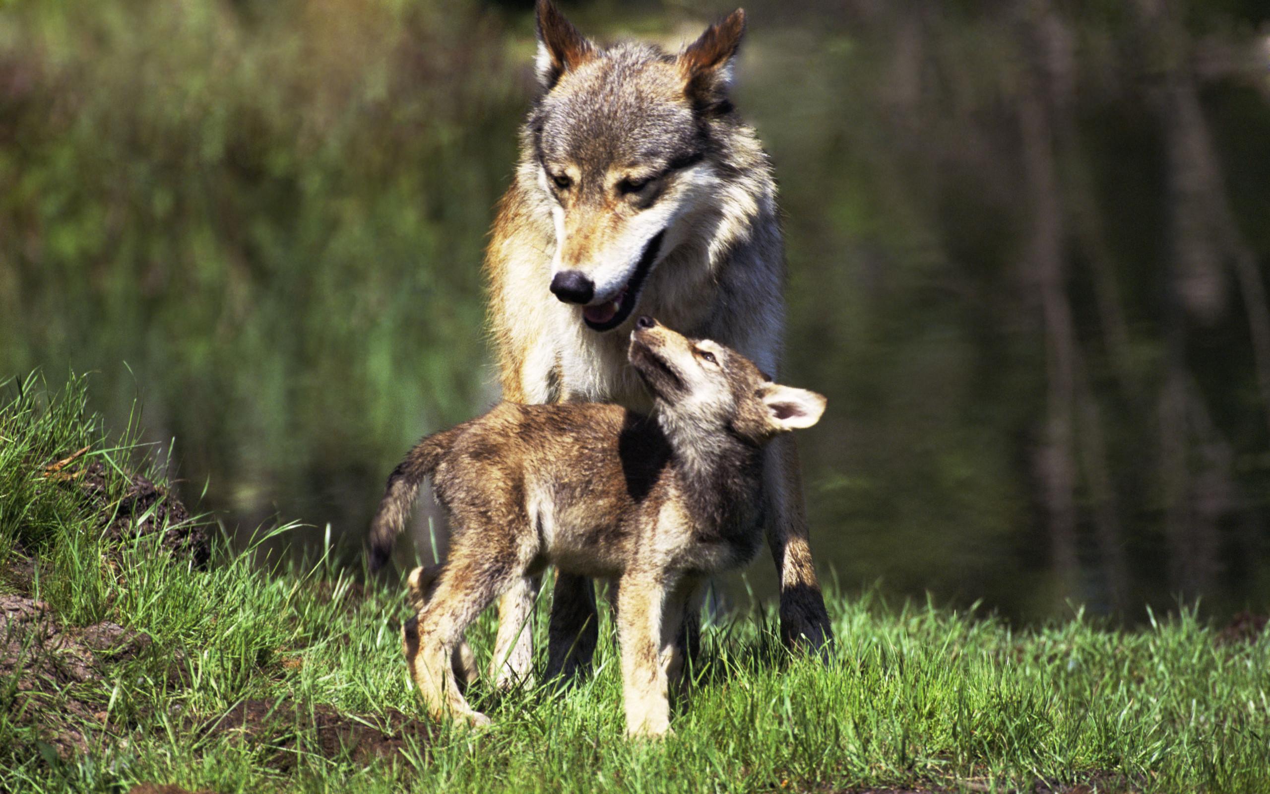 картинки волков и зайцев нет местность россии