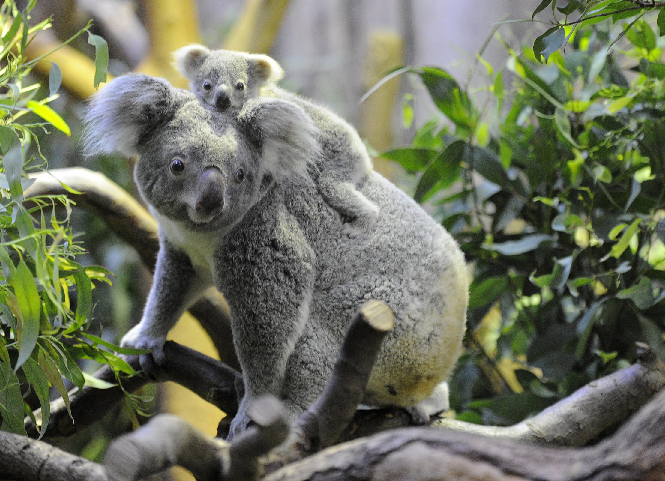 Фото коалы животное