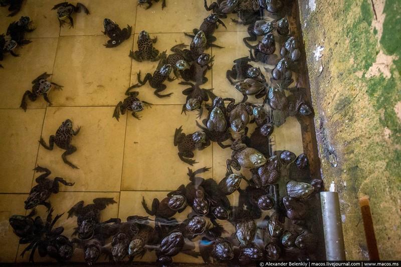 Как выращивают лягушек для еды   еда, лягушка