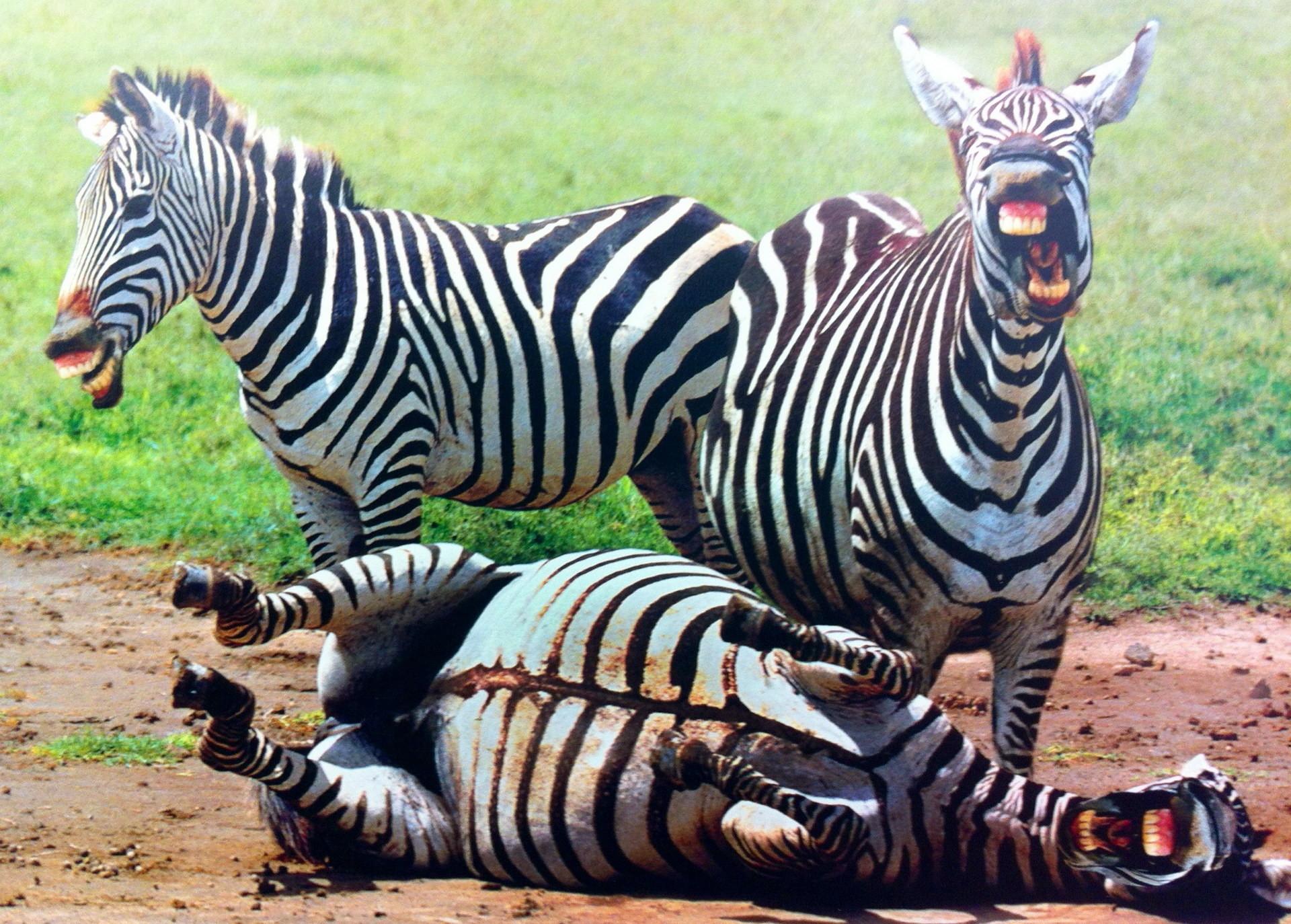 Картинка зебры прикольная, открытки иркутске картинки