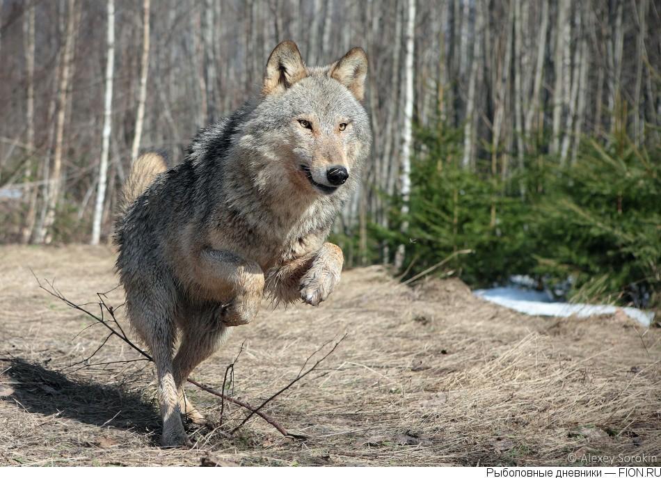 Брянский волк картинка