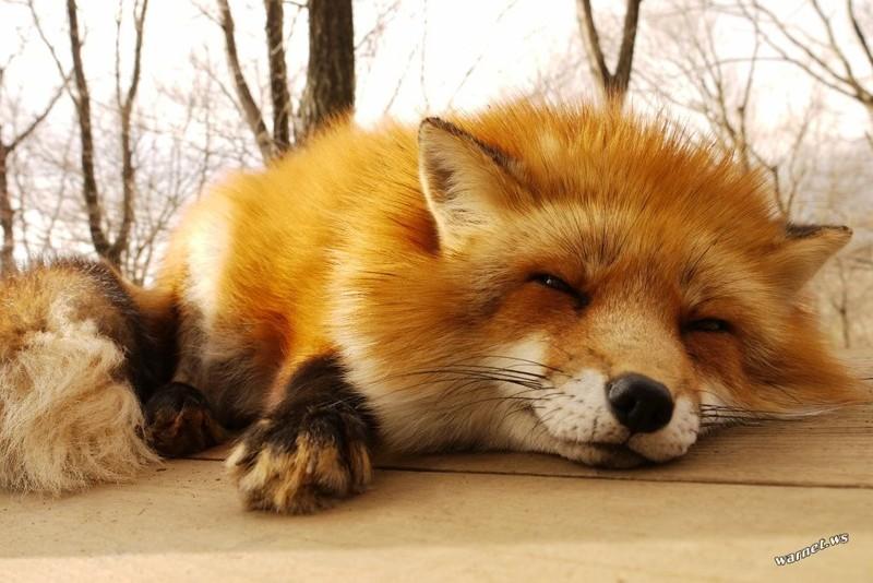 смотреть фото смешных лисичек продлевает срок службы