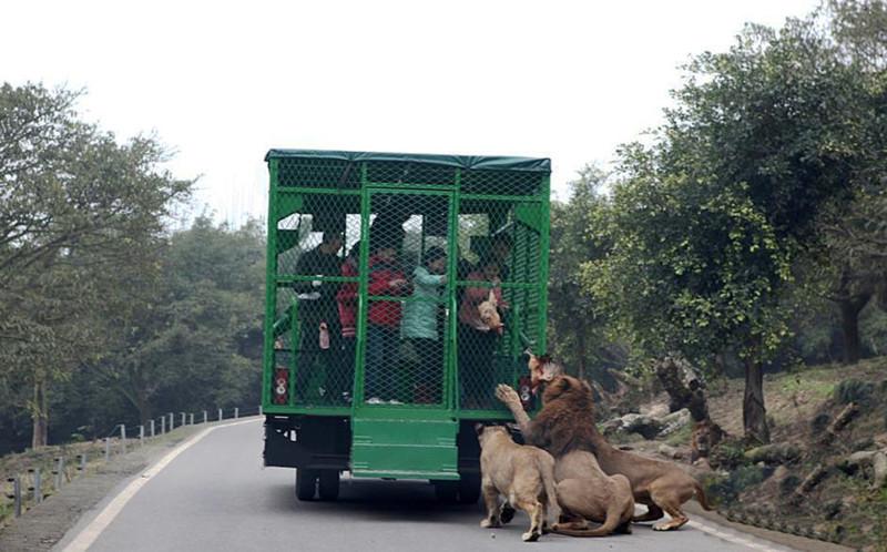 Работники зоопарка позволяют посетителям испытать ужас преследования и нападения больших кошек, при этом без реального риска для жизни животные, зоопарк, китай, хищник