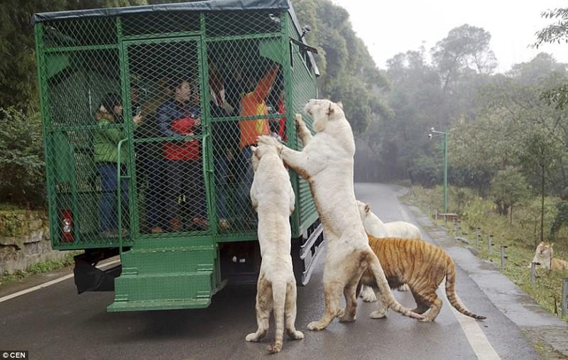 Чтобы привлечь внимание животных, огромные куски сырого мяса и даже живых куриц привязывают прямо к кузову грузовика.  животные, зоопарк, китай, хищник