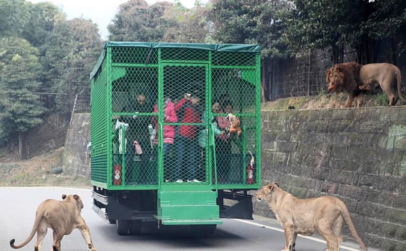 В зоопарке города Чунцин можно встретить львов, бенгальских и белых тигров, медведей. животные, зоопарк, китай, хищник