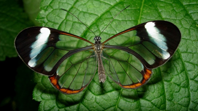 Прозрачные крылья природа, фотографии