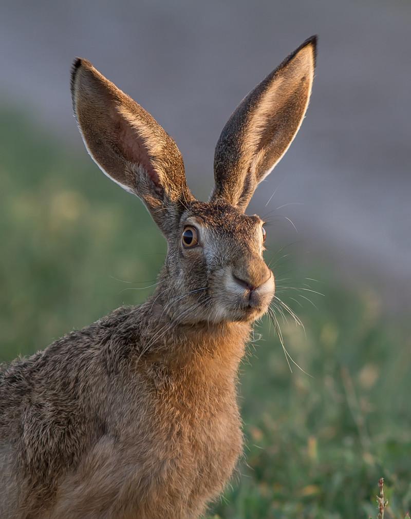 кнопку, которой картинки про уши зайцев высокие