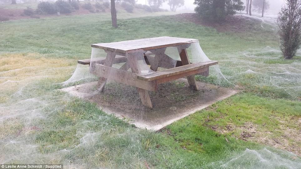 В Австралии гигантская стая пауков захватила парк, спасаясь от наводнения австралия, пауки, ужасы