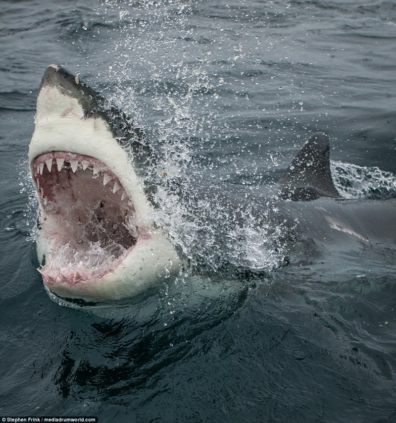 Самая большая акула картинка