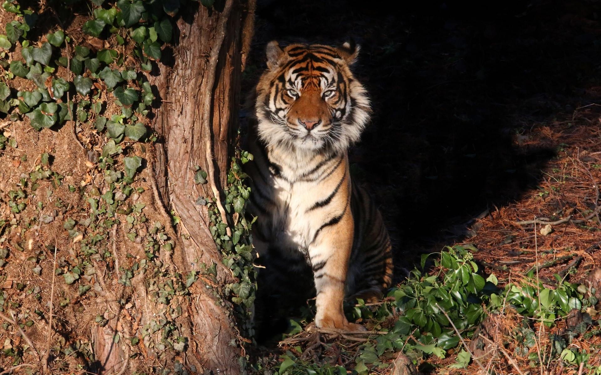 состоянию логово тигров фон частности заметили
