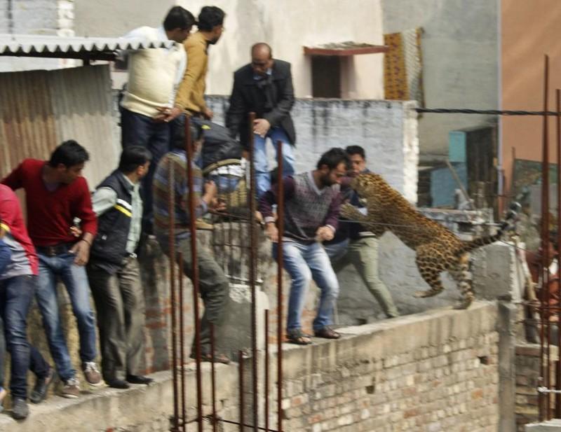 Леопард бросается на людей на стройке в жилом районе Мератха, города в северо-западной части штата Уттар-Прадеш, в Индии. Февраль 2014. животные, люди