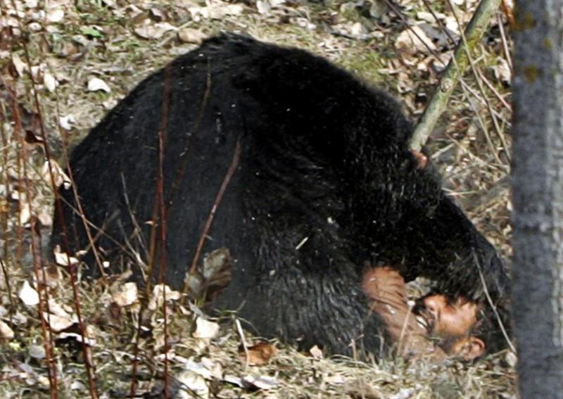 Гималайский медведь напал на одного из мужчин, которые охотились на него близ деревни Гасоо в Сринагаре (Индия/Пакистан) . Охотник по имени Макхан Кхан получил многочисленные ранения. Ноябрь 2007. животные, люди