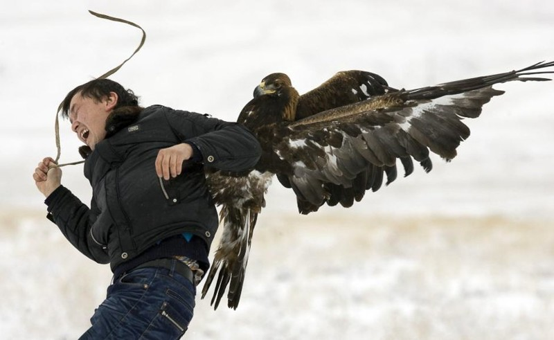 Охотничий золотой орёл напал на фотографа во время ежегодного охотничьего соревнования в Алматы, Казахстан. Декабрь 2009. животные, люди