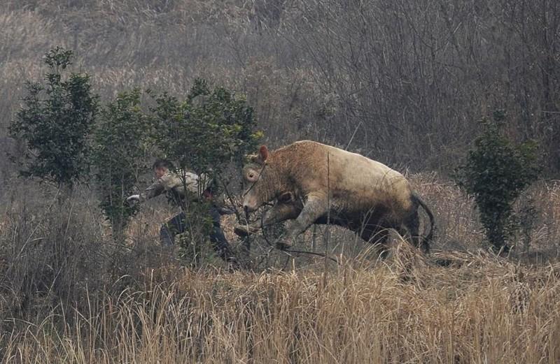 Корова вырвалась из перевозки и успела атаковать нескольких фермеров, прежде чем её застрелила полиция. Деревня Лиангдун, Наньган, округ провинции Аньхой, Китай животные, люди