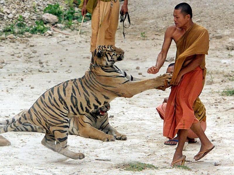 Здесь человеку ничего не угрожает. Тигр просто играет с монахом. Тигриный монастырь Ват Па Луангта Буа Янасампанно, Тайланд, 22.05.2001. животные, люди