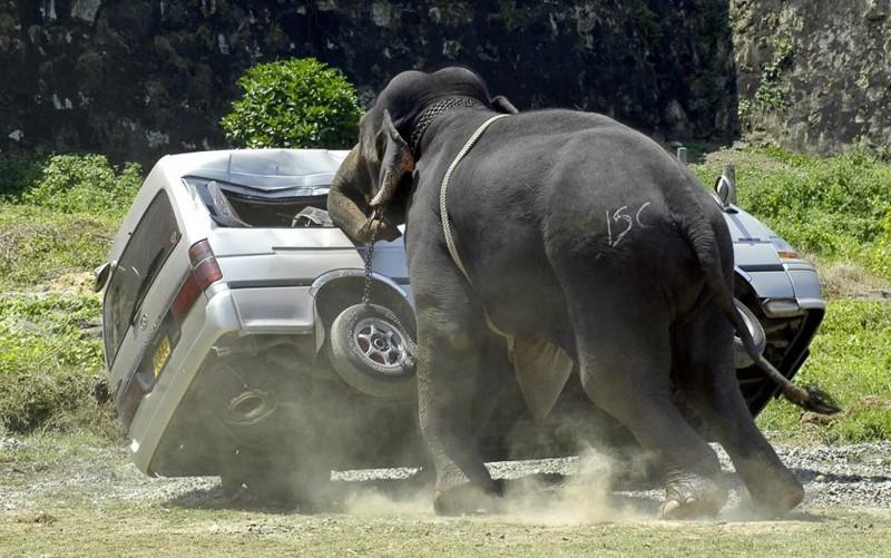 Разъярённый слон крушит микроавтобус, после того, как выкинул куда-то далеко его водителя. Шестой ежегодный турнир по поло на слонах. Галле, Шри-Ланка, февраль 2007. животные, люди
