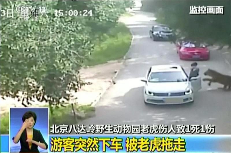 Тигр нападает на женщину. Пекинский парк дикой природы, 23.07.2016. животные, люди