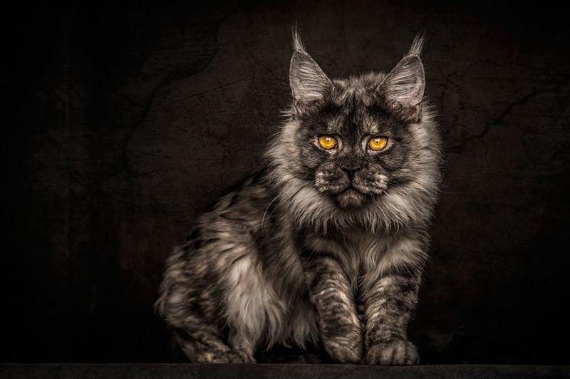 Мэйкуны - мистические коты животные, кошки, фото