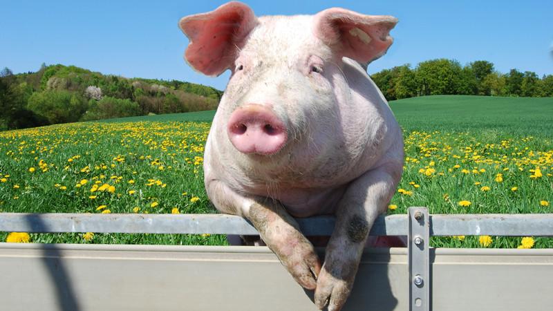 Генетически к человеку ближе всего свинья интересное, мифы, наука