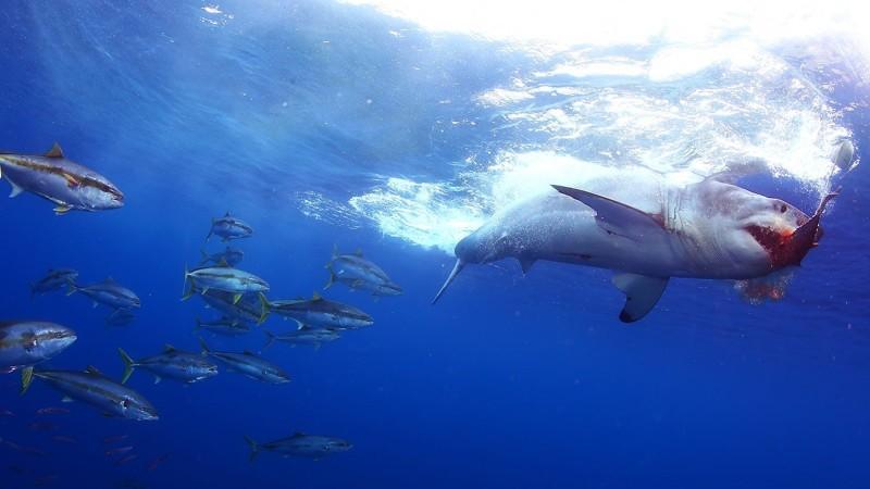 Акула чует каплю крови на расстоянии нескольких километров интересное, мифы, наука