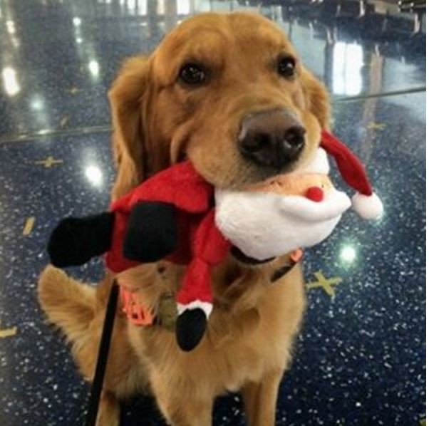 Это Барт. Он тоже обучен находить взрывчатку, но, похоже, нашел Санта-Клауса. Суровое сердце таможенника не устояло. И он его спер. Хороший мальчик Барт))). вещи, таможня