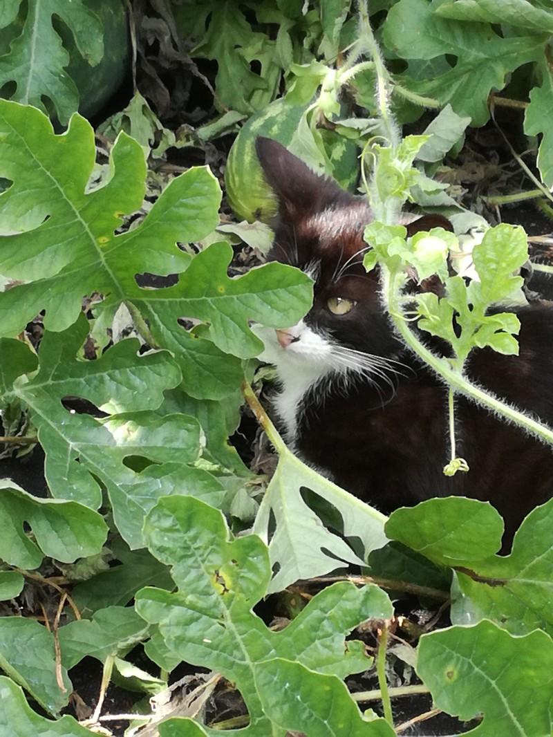 Постоянный житель бахчи, котенок Тимоша)) Сторож и друг.