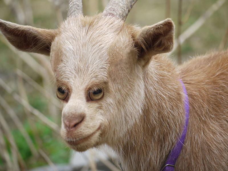 Коза глаза, животные, фотошоп
