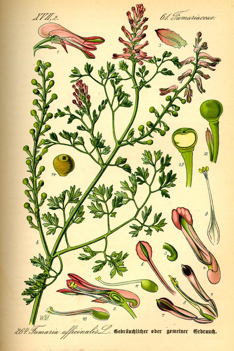 окон цветы на латыни с картинками скороспелый сорт, адаптированный