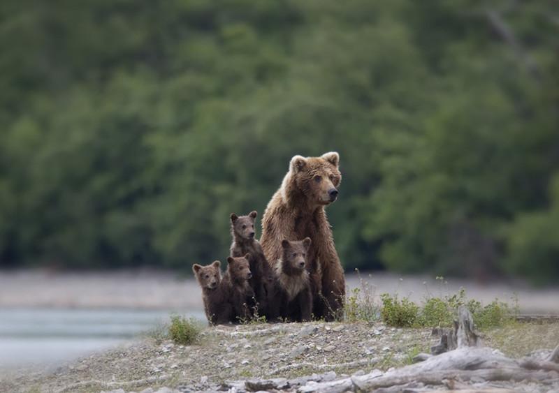 Самые трогательные мамы-медведицы и их медвежата медведи, мимими