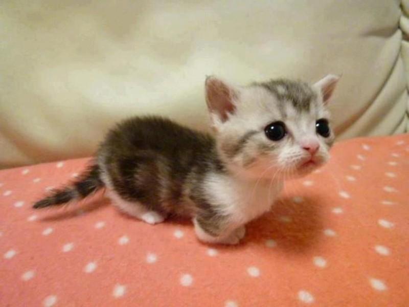 1. Перед вам котенок породы манчкин