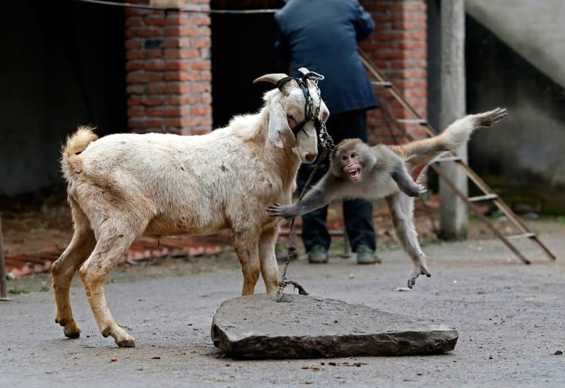 Обезьяна на козе картинка