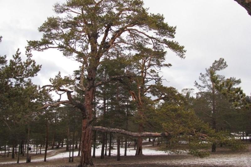 Учёные подтвердили: старейшая сосна России растёт на Ольхоне