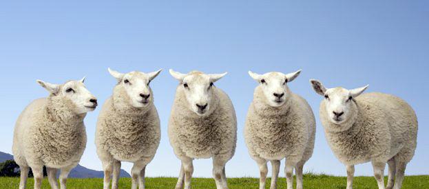 Ролик про сексуальных овечек