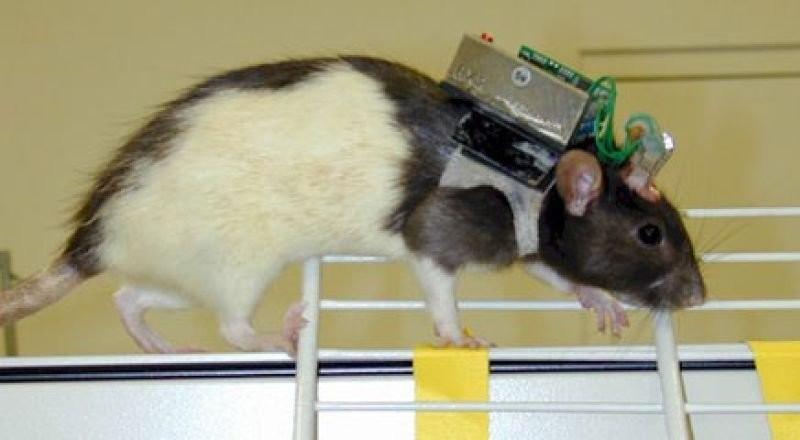 Доктор Санджив Талвар создал крыс с дистанционным управлением